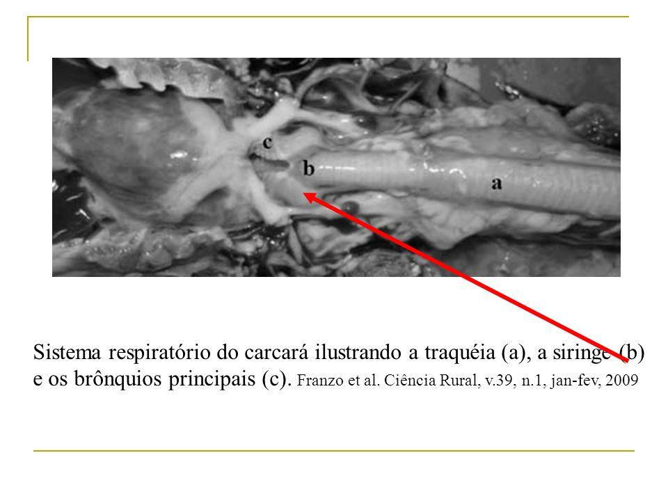Sistema respiratório do carcará ilustrando a traquéia (a), a siringe (b) e os brônquios principais (c). Franzo et al. Ciência Rural, v.39, n.1, jan-fe