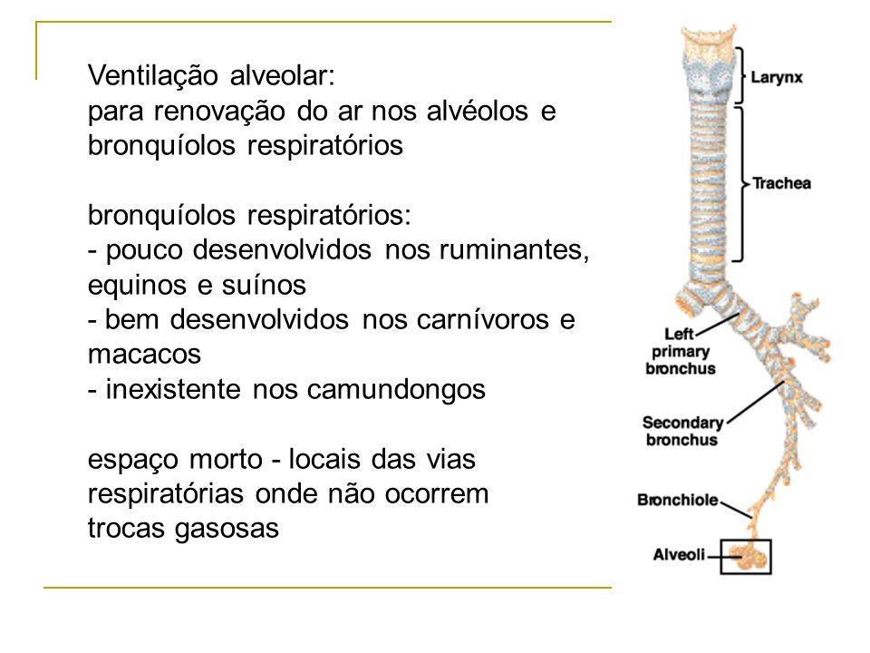 Ventilação alveolar: para renovação do ar nos alvéolos e bronquíolos respiratórios bronquíolos respiratórios: - pouco desenvolvidos nos ruminantes, eq