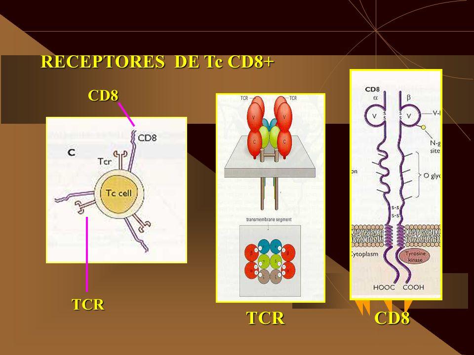 RECEPTORES DE Tc CD8+ CD8 TCR TCRCD8