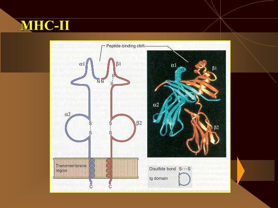 MHC-II
