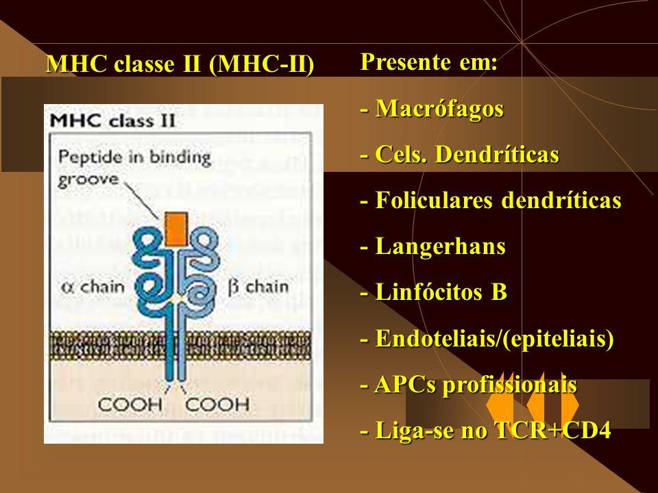 MHC classe II (MHC-II) Presente em: - Macrófagos - Cels. Dendríticas - Foliculares dendríticas - Langerhans - Linfócitos B - Endoteliais/(epiteliais)