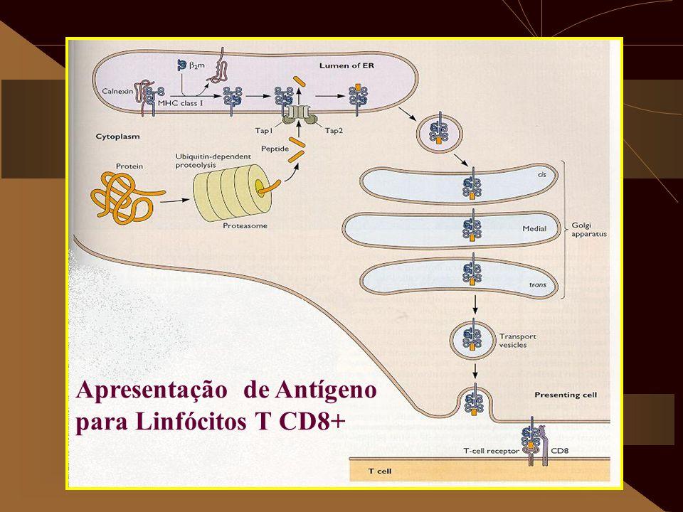 Apresentação de Antígeno para Linfócitos T CD8+