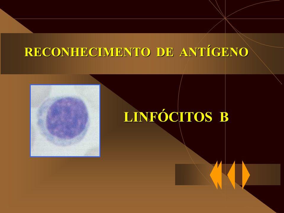 RECONHECIMENTO DE ANTÍGENO LINFÓCITOS B