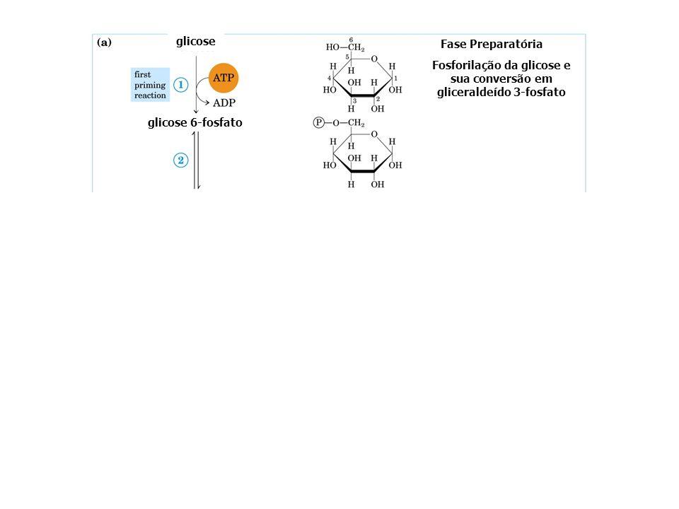 GLICÓLISE - FASE PREPARATÓRIA glicose glicose-6-fosfato frutose-6-fosfato frutose-1,6-difosfato gliceraldeído-3-fosfato diidroxiacetona fosfato hexoqu