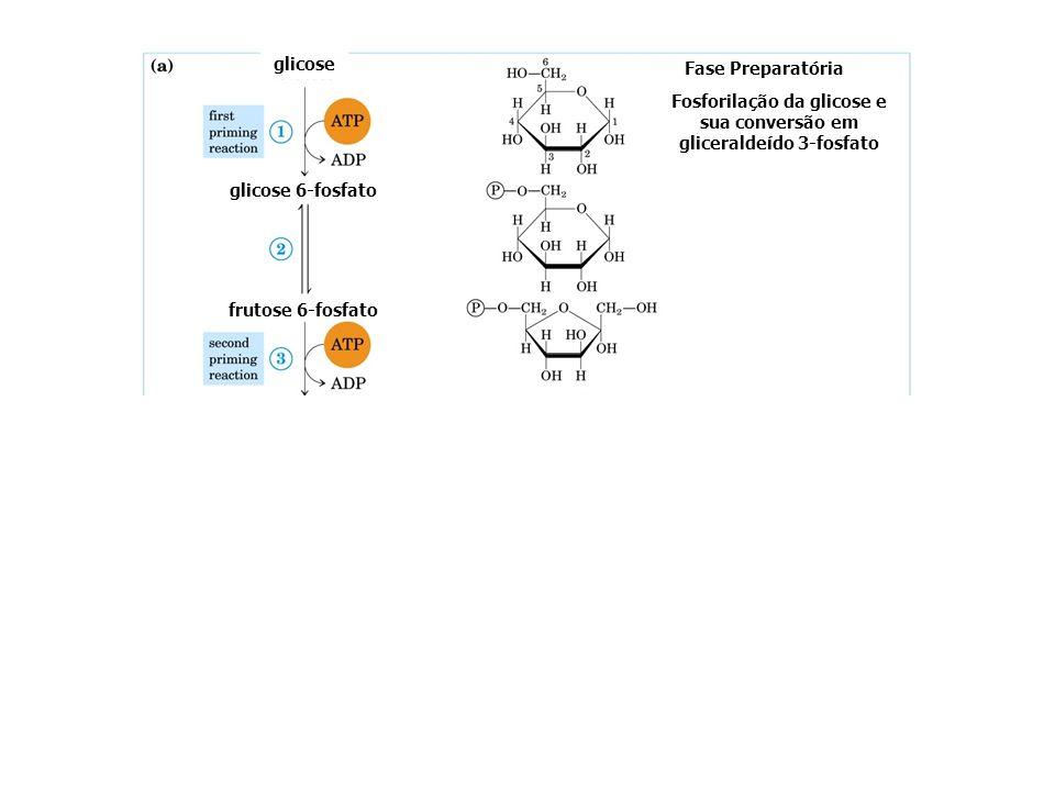 glicose glicose 6-fosfato Fase Preparatória Fosforilação da glicose e sua conversão em gliceraldeído 3-fosfato