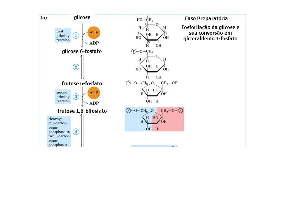 glicose glicose 6-fosfato frutose 6-fosfato Fase Preparatória Fosforilação da glicose e sua conversão em gliceraldeído 3-fosfato