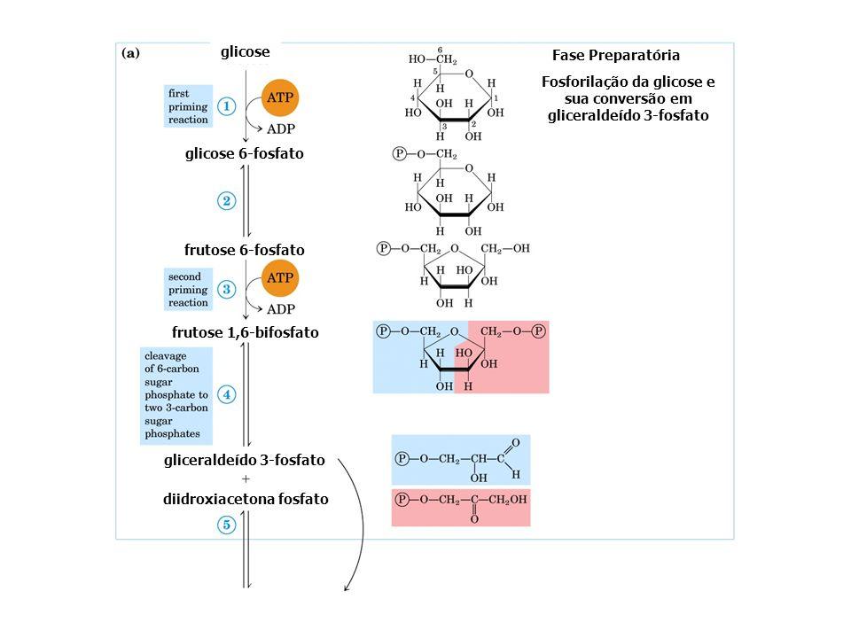 glicose glicose 6-fosfato frutose 6-fosfato frutose 1,6-bifosfato Fase Preparatória Fosforilação da glicose e sua conversão em gliceraldeído 3-fosfato