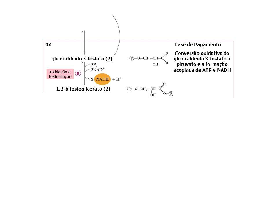 gliceraldeído-3-fosfato 1,3-bifosfoglicerato 3-fosfoglicerato 2-fosfoglicerato fosfoenolpiruvato piruvato PIRUVATO QUINASE ENOLASE Fase de Pagamento