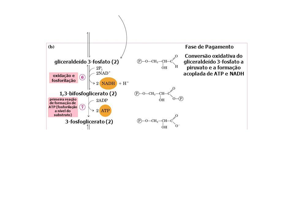 gliceraldeído 3-fosfato (2) 1,3-bifosfoglicerato (2) Fase de Pagamento Conversão oxidativa do gliceraldeído 3-fosfato a piruvato e a formação acoplada