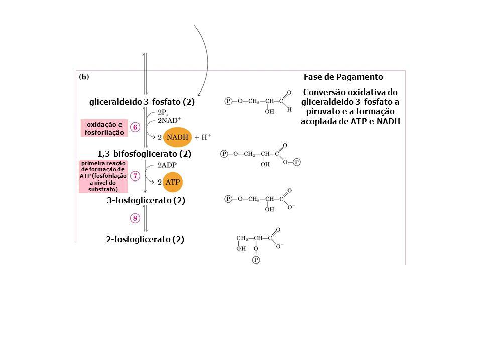 gliceraldeído 3-fosfato (2) 1,3-bifosfoglicerato (2) 3-fosfoglicerato (2) Fase de Pagamento Conversão oxidativa do gliceraldeído 3-fosfato a piruvato