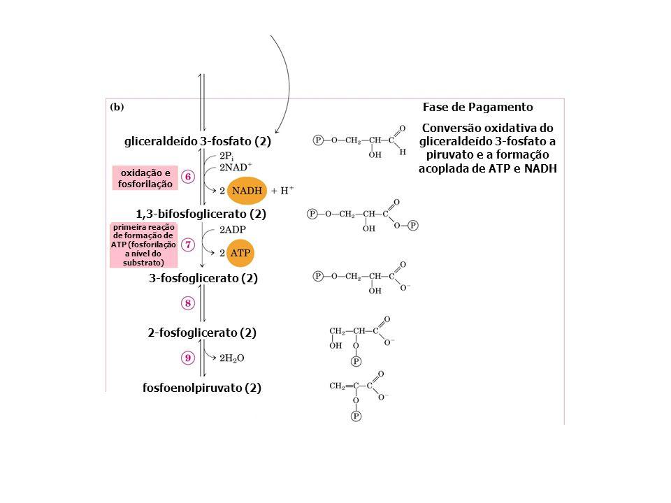 gliceraldeído 3-fosfato (2) 1,3-bifosfoglicerato (2) 3-fosfoglicerato (2) 2-fosfoglicerato (2) Fase de Pagamento Conversão oxidativa do gliceraldeído
