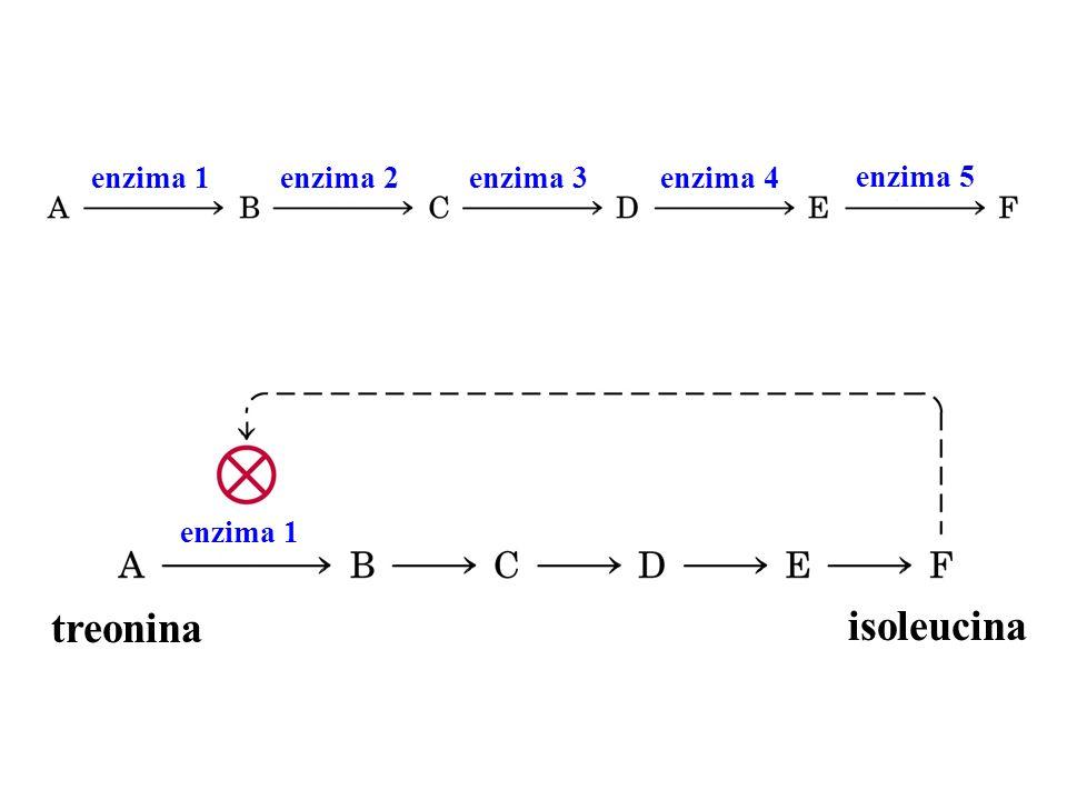 enzima 1enzima 2enzima 3enzima 4 enzima 5 enzima 1 treonina isoleucina