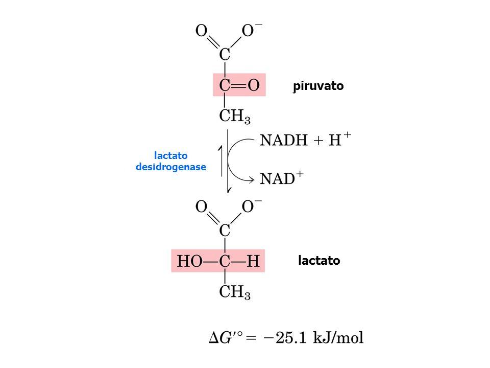 Nicotinamida adenina dinucleotídeo (NAD + )