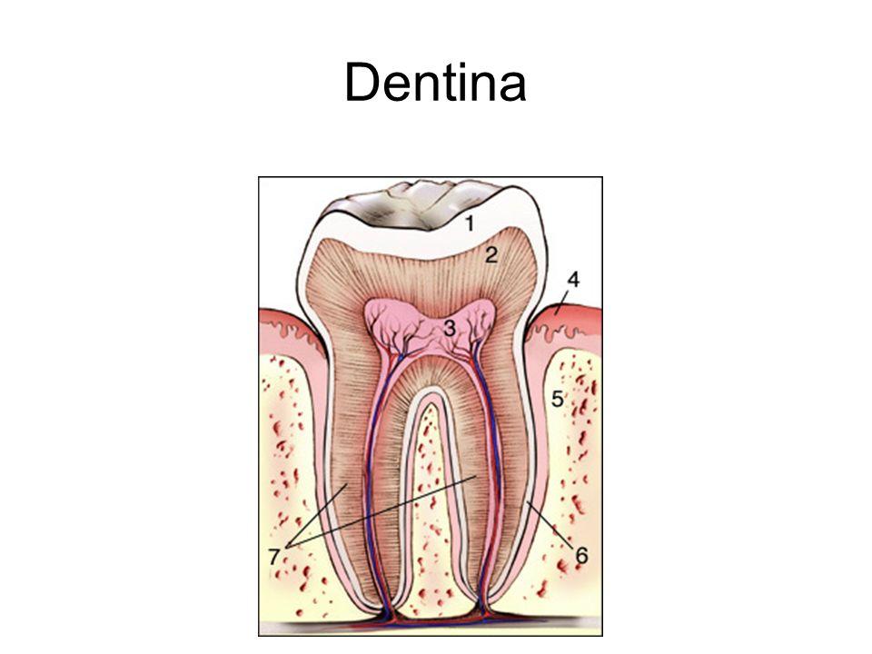 1.Qual a constituição química da dentina.