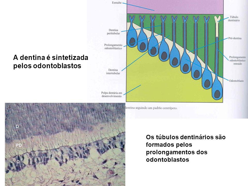 A dentina é sintetizada pelos odontoblastos Os túbulos dentinários são formados pelos prolongamentos dos odontoblastos