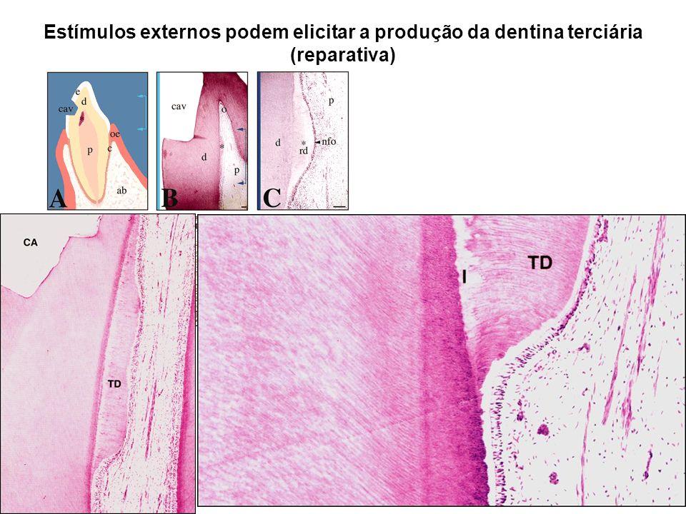 Estímulos externos podem elicitar a produção da dentina terciária (reparativa)