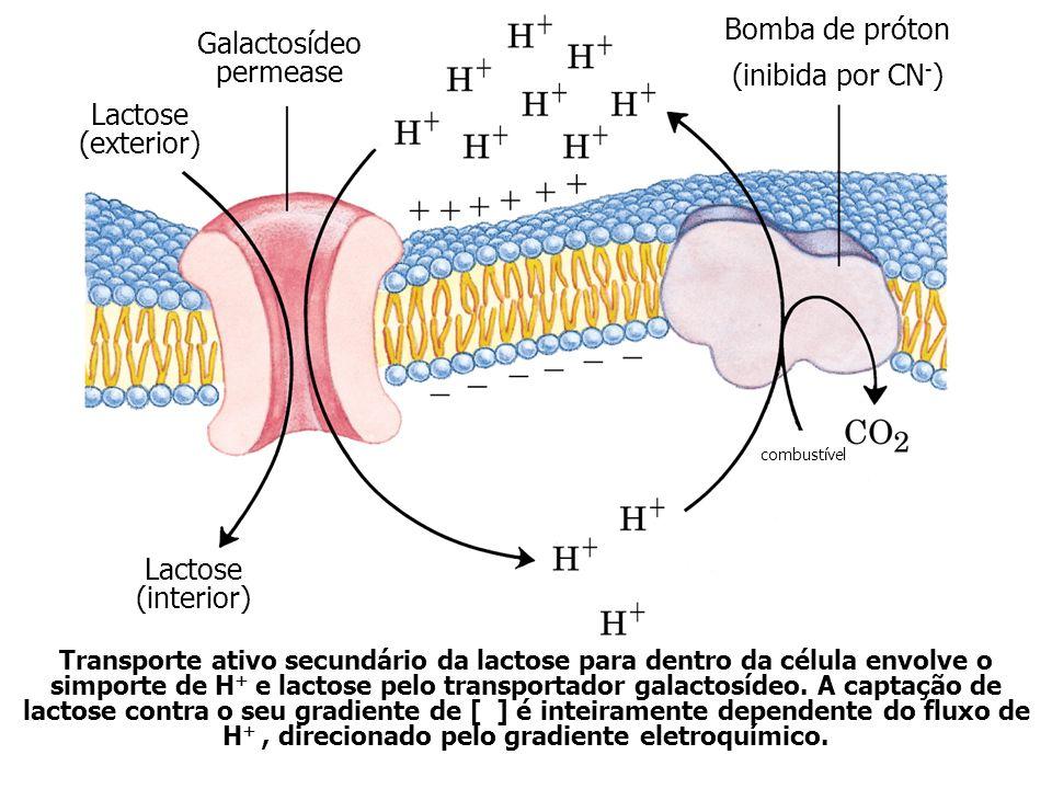 Galactosídeo permease Lactose (exterior) Bomba de próton (inibida por CN - ) Lactose (interior) combustível Transporte ativo secundário da lactose para dentro da célula envolve o simporte de H + e lactose pelo transportador galactosídeo.