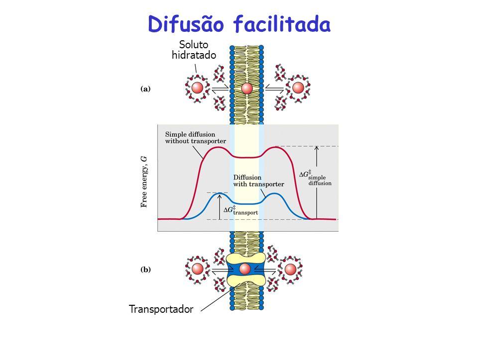 interior exterior D-glicose Passo 1 Passo 2 Passo 3 Passo 4 Transporte da glicose para dentro dos eritrócitos: Difusão facilitada O transportador da glicose é uma proteína integral da membrana.