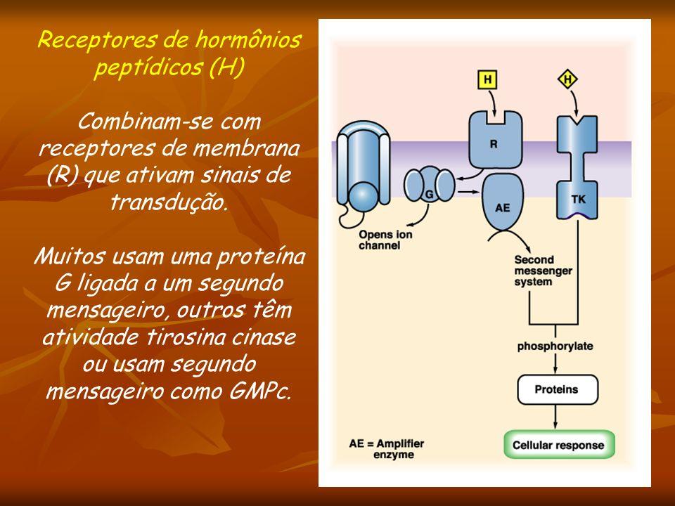 Receptores de hormônios peptídicos (H) Combinam-se com receptores de membrana (R) que ativam sinais de transdução. Muitos usam uma proteína G ligada a