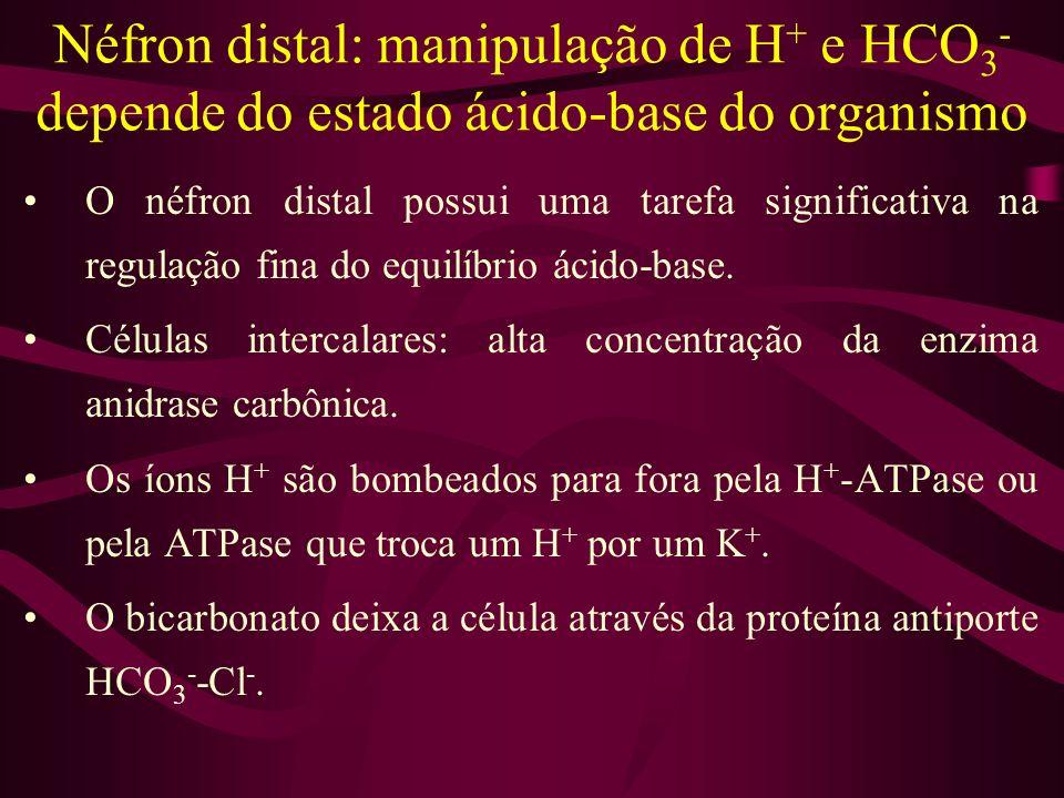 Néfron distal: manipulação de H + e HCO 3 - depende do estado ácido-base do organismo O néfron distal possui uma tarefa significativa na regulação fin