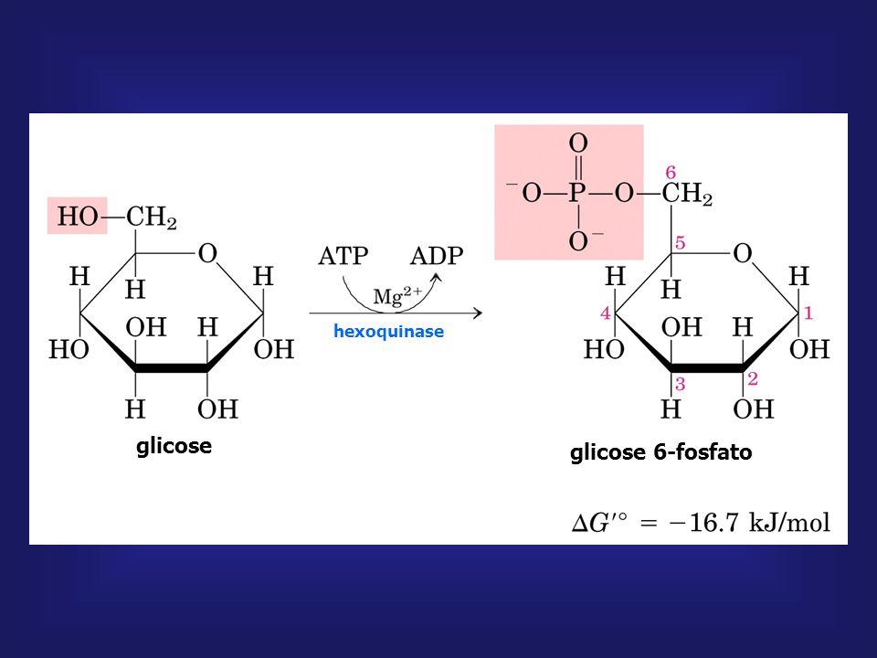 glicose frutose 6-fosfato glicose 6-fosfato frutose 1,6-bifosfato hexoquinase FOSFOFRUTOQUINASE-1 ATP ADP ATP ADP Mg + +