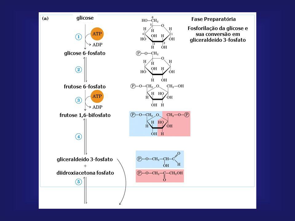 hexoquinase: - enzima reguladora; - é inibida pela G6P; - catalisa também fosforilação de outras hexoses. glicoquinase: age após refeição rica em açúc