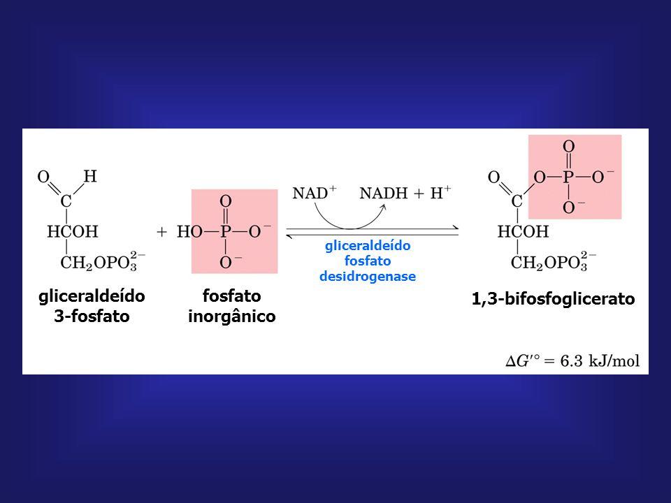 gliceraldeído 3-P 1,3-bifosfoglicerato 1,3-bifosfoglicerato 3-fosfoglicerato fosfoglicerato quinase NAD + NADH + H + ADP ATP Pi Mg + + gliceraldeído P