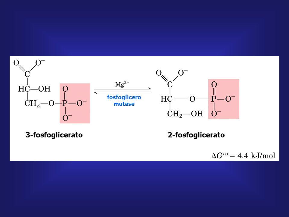 fosfoglicerato quinase 1,3-bifosfoglicerato 3-fosfoglicerato ADP ATP