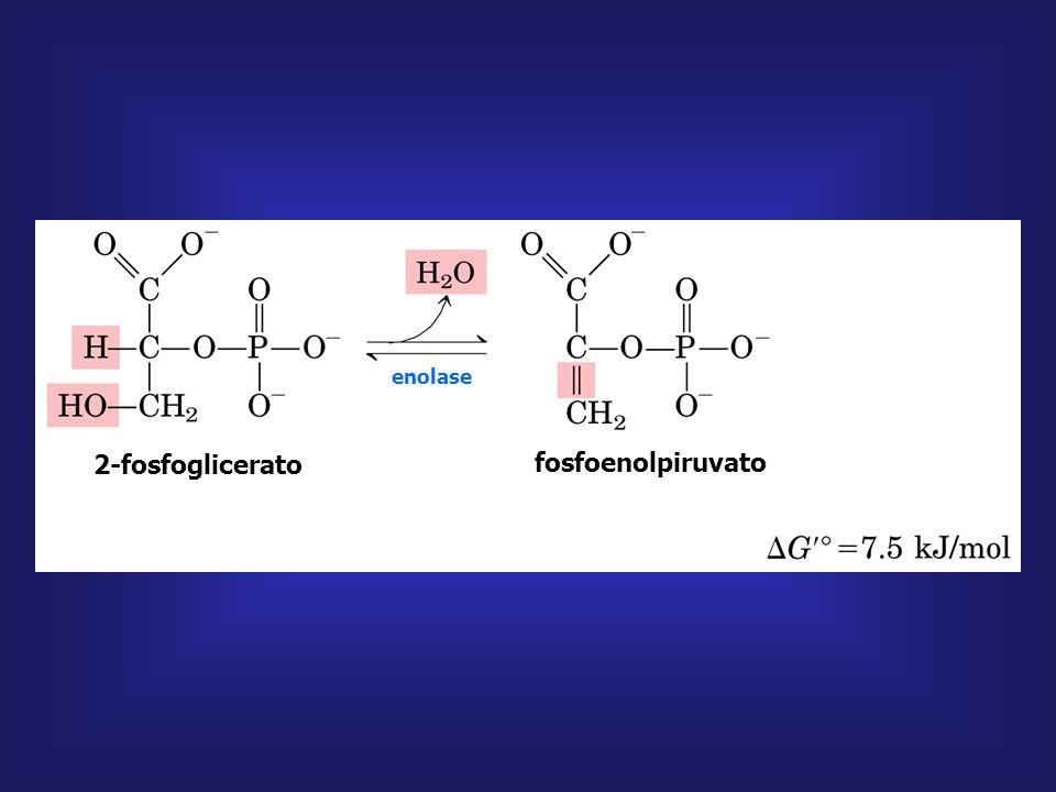 2-fosfoglicerato fosfoenolpiruvato fosfoenolpiruvato piruvato PIRUVATO QUINASE H2OH2O ADP ATP Mg + + ENOLASE Enolase é inibida pelo flúor Composto de