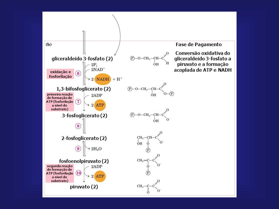 [ ]s ATP, acetil-CoA, ácidos graxos piruvato quinase fosfoenolpiruvatopiruvatoADP ATP