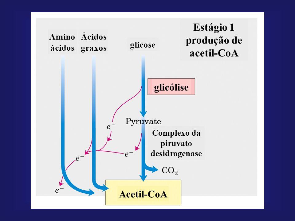 Estágio 1 produção de acetil-CoA Amino ácidos Ácidos graxos glicose glicólise Complexo da piruvato desidrogenase Acetil-CoA