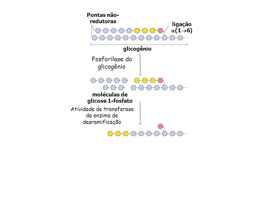 Fosforilase do glicogênio Glicose 6-fosfato fosfoglicomutase glicogênio Pontas não- redutoras ligação (1 6) moléculas de glicose 1-fosfato