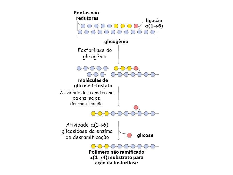 Atividade de transferase da enzima de desramificação Fosforilase do glicogênio glicogênio Pontas não- redutoras ligação (1 6) moléculas de glicose 1-f