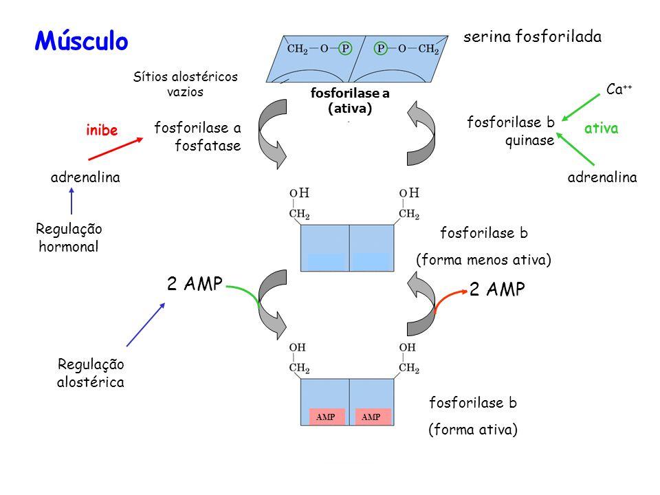 Atividade de transferase da enzima de desramificação Atividade (1 6) glicosidase da enzima de desramificação Fosforilase do glicogênio glicogênio Pont
