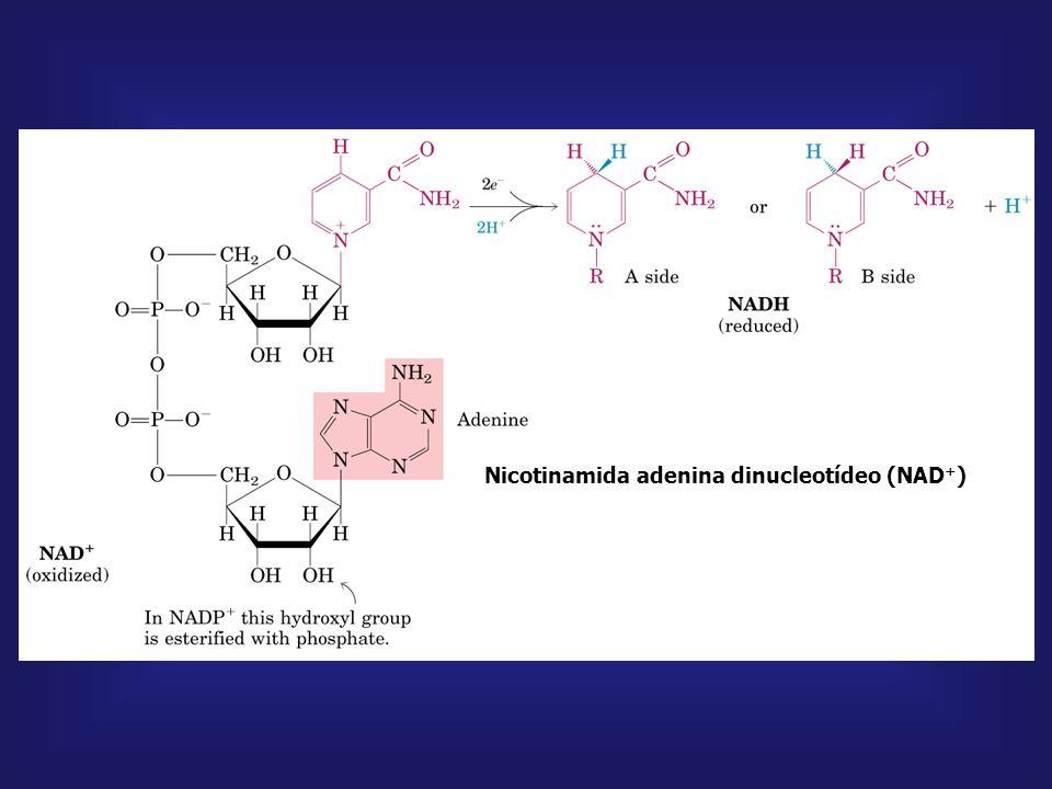 NADPH Nicotinamida adenina dinucleotídeo fosfato Diferença fundamental entre NADPH e NADH NADH é um doador de elétrons na cadeia respiratória NADPH é