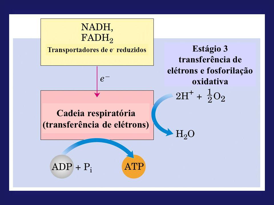 Transportadores de e - reduzidos Estágio 3 transferência de elétrons e fosforilação oxidativa Cadeia respiratória (transferência de elétrons)