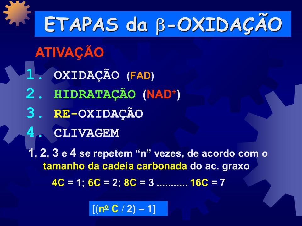 -OXIDAÇÃO -OXIDAÇÃO 16 C = 8 Acetil-CoA