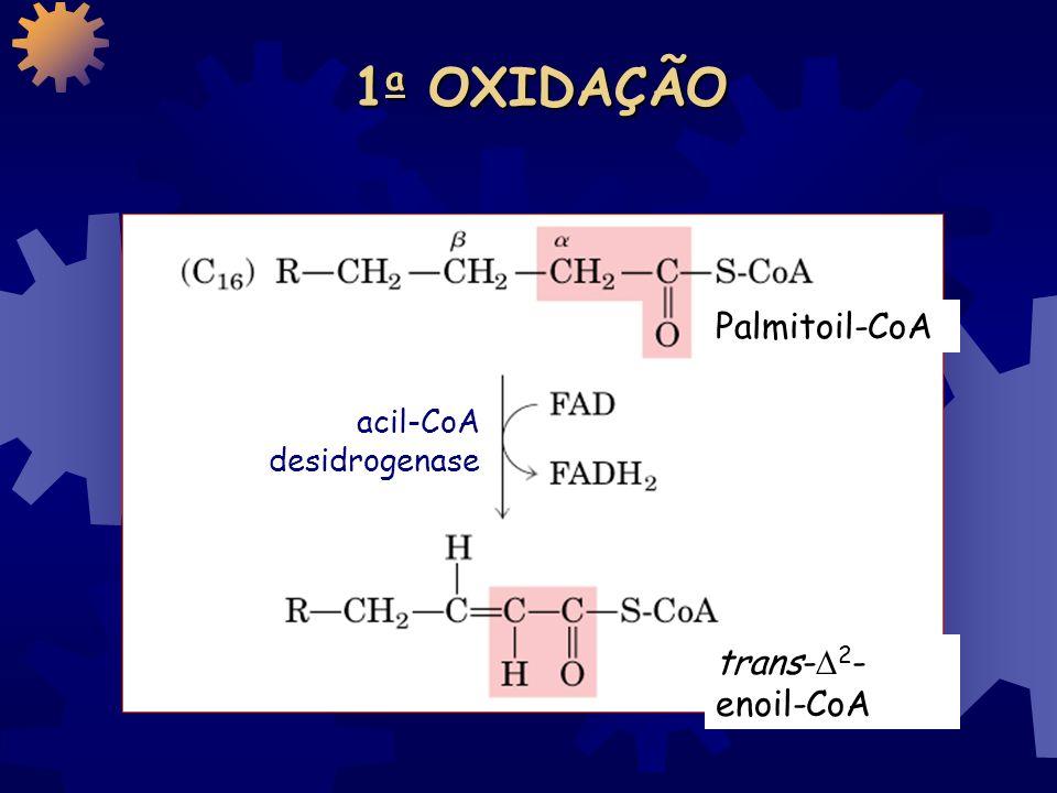 ETAPAS da -OXIDAÇÃO 1. OXIDAÇÃO (FAD) 2. HIDRATAÇÃO (NAD + ) 3. RE-OXIDAÇÃO 4. CLIVAGEM 1, 2, 3 e 4 se repetem n vezes, de acordo com o tamanho da cad