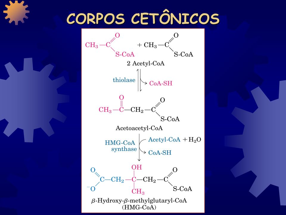 CORPOS CETÔNICOS Gotículas de gordura Hepatócito Glicose exportada como combustível para os tecidos como o cérebro Corpos cetônicos exportados como fonte de energia pelo coração, músculo esquelético, rim e cérebro