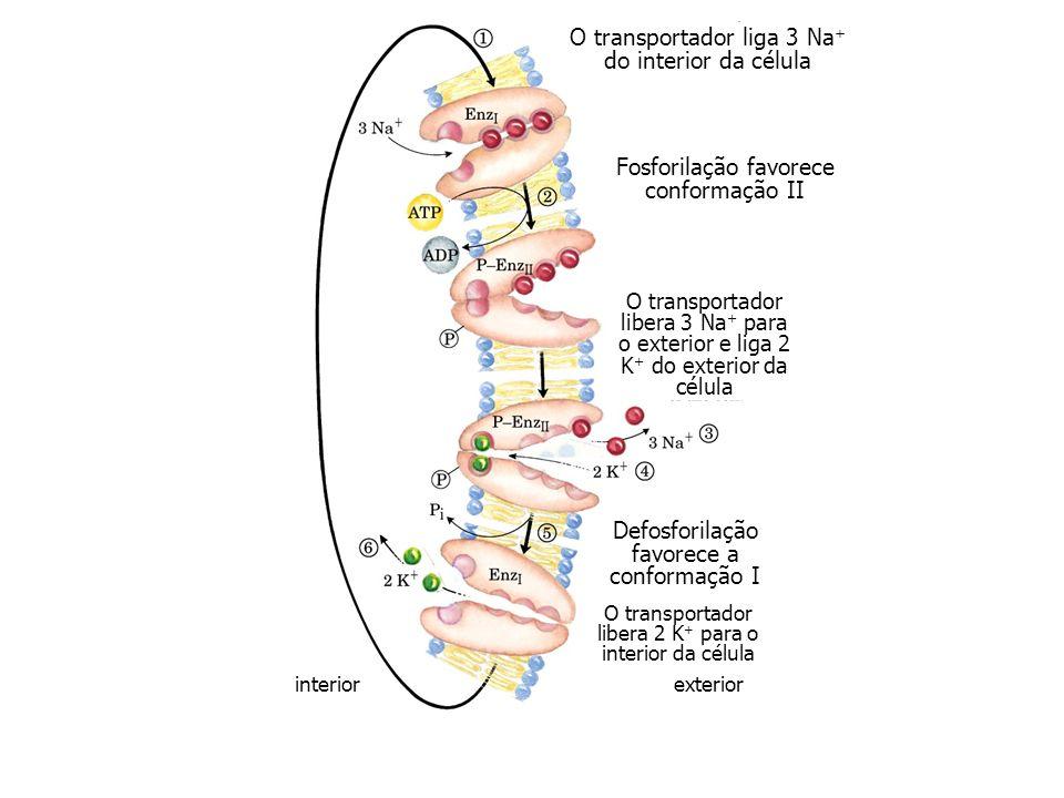 O transportador liga 3 Na + do interior da célula Fosforilação favorece conformação II O transportador libera 3 Na + para o exterior e liga 2 K + do e