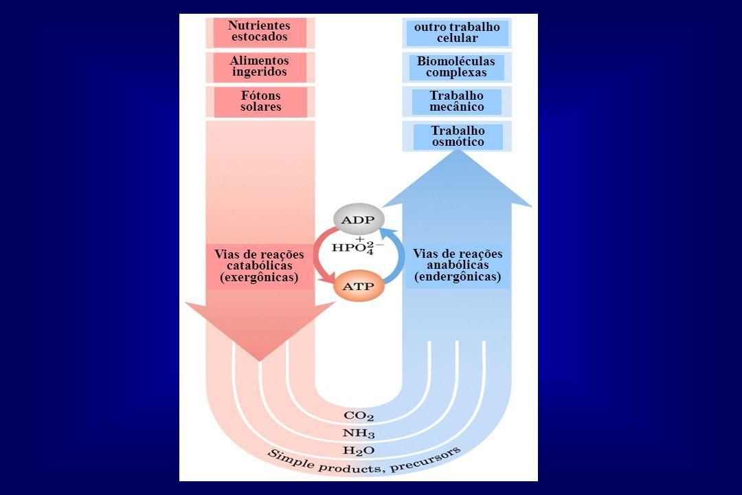 Nutrientes estocados Alimentos ingeridos Fótons solares Vias de reações catabólicas (exergônicas) Vias de reações anabólicas (endergônicas) Trabalho o