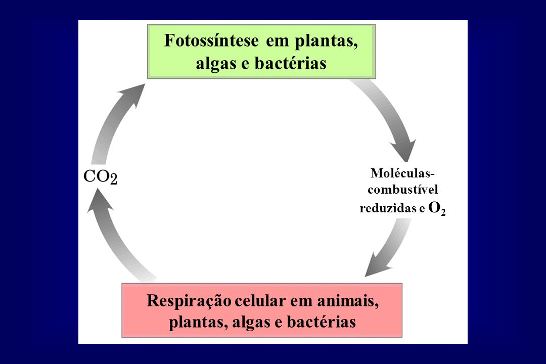 Moléculas- combustível reduzidas e O 2 Fotossíntese em plantas, algas e bactérias Respiração celular em animais, plantas, algas e bactérias