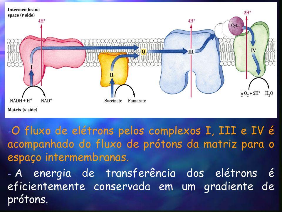 - O fluxo de elétrons pelos complexos I, III e IV é acompanhado do fluxo de prótons da matriz para o espaço intermembranas.
