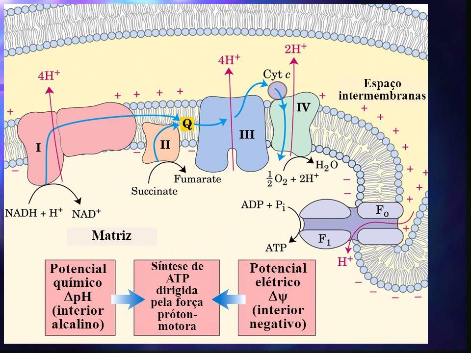 Potencial químico pH (interior alcalino) Potencial elétrico (interior negativo) Síntese de ATP dirigida pela força próton- motora Espaço intermembranas Matriz