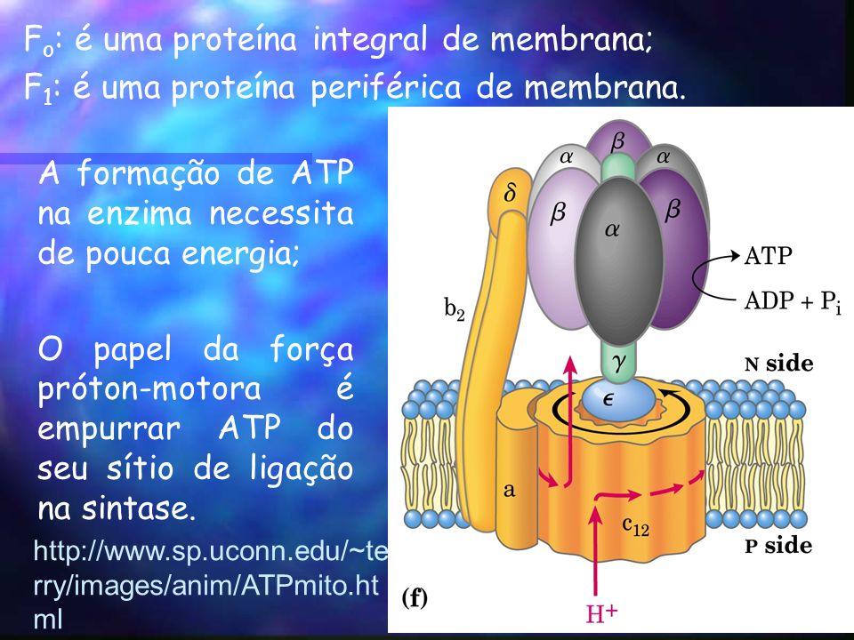 F o : é uma proteína integral de membrana; F 1 : é uma proteína periférica de membrana.