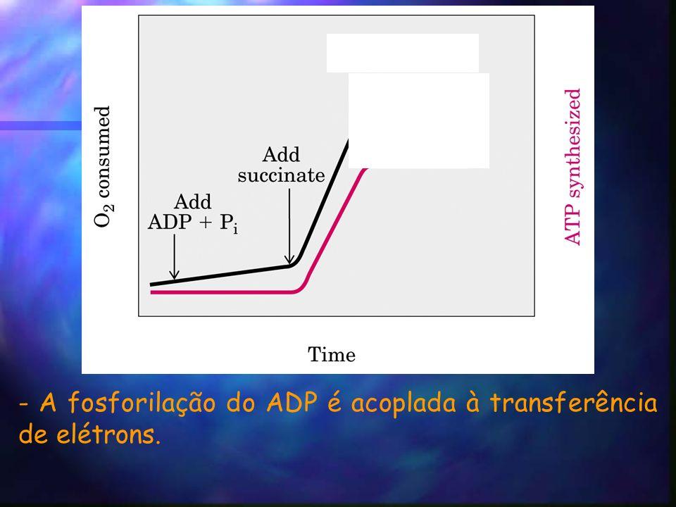 - A fosforilação do ADP é acoplada à transferência de elétrons.