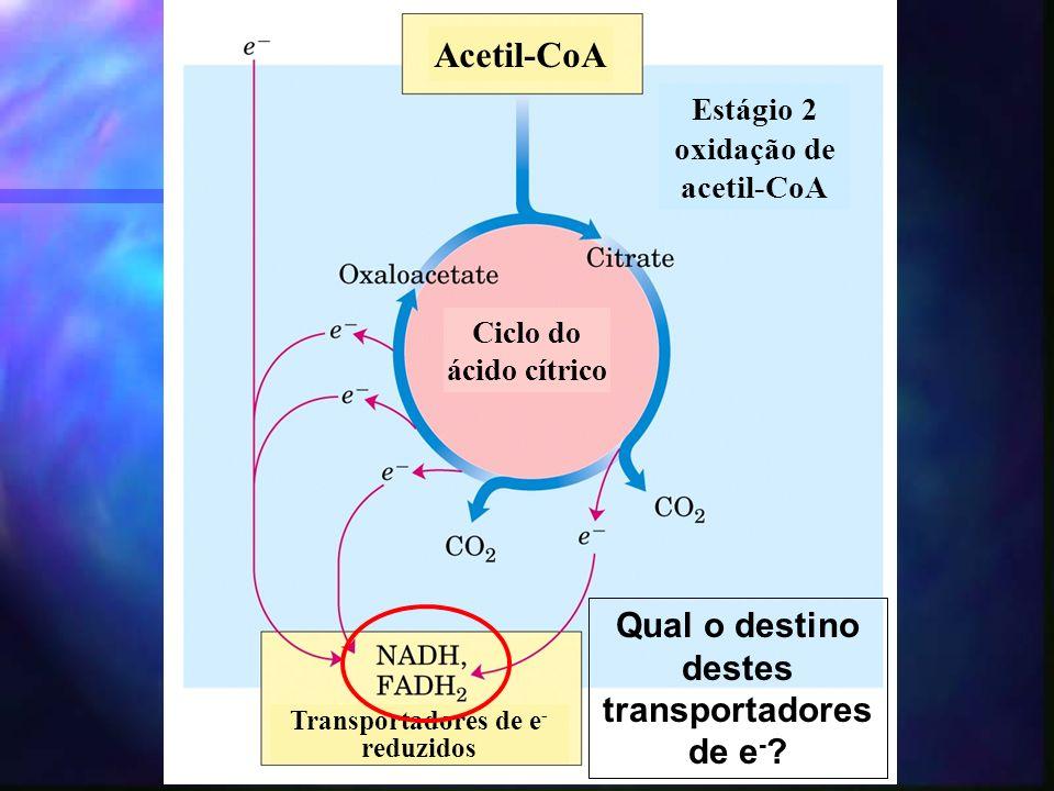 Estágio 2 oxidação de acetil-CoA Acetil-CoA Transportadores de e - reduzidos Ciclo do ácido cítrico Qual o destino destes transportadores de e -