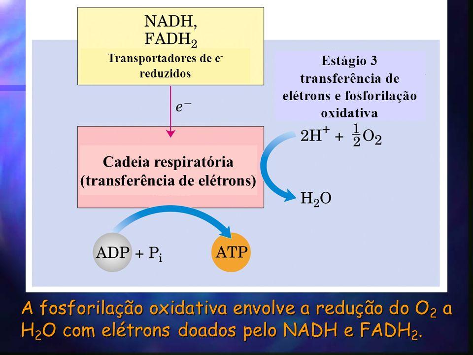 A fosforilação oxidativa envolve a redução do O 2 a H 2 O com elétrons doados pelo NADH e FADH 2.