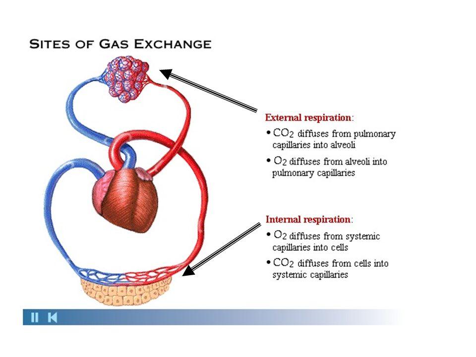 TRANSPORTE DOS GASES NO SANGUE Quase todo o oxigênio é transportado, no sangue, ligado à hemoglobina, presente em grande quantidade no interior das hemácias