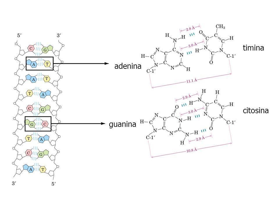adenina guanina timina citosina